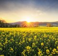 Rapeseed field, Blooming canola flowers close up. Rape on the field in summer Royalty Free Stock Photo