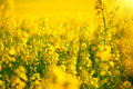Rapeseed field. Blooming canola Royalty Free Stock Photo
