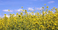 Rapeseed Field and Blue Sky Royalty Free Stock Photo