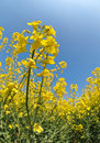 Rapeseed field on blue sky Stock Photography
