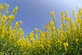 Rapeseed field with blue sky fisheye view Royalty Free Stock Photos