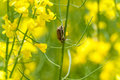Rapeseed field with Cockchafer May Bug or Doodlebug Royalty Free Stock Photo