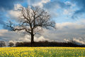 Rapeseed field contryside landscape Royalty Free Stock Photo