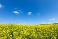 Rapeseed field flowering blue sky Royalty Free Stock Photo