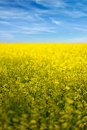 Rapeseed field flowers in bloom landscape of with blue sky and clouds Royalty Free Stock Photo