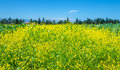 Rapeseed field of fresh flowers over clear blue sky beautiful yellow floral meadow on the farm cultivate oilseed plant on Royalty Free Stock Image