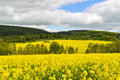 Rapeseed field landscape of yellow and clouds Royalty Free Stock Photo