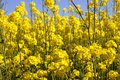 rapeseed in the field Royalty Free Stock Photo
