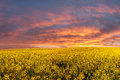 Rapeseed field and majestic clouds landscape with bright morning yellow in sky Stock Photos