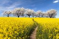 Rapeseed field, parhway and alley flowering cherry trees Royalty Free Stock Photo