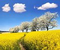 Rapeseed field with parhway and cherry trees Royalty Free Stock Photo