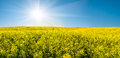 Rapeseed field and sun in blue sky beautiful landscape with yellow Royalty Free Stock Image