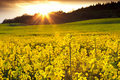 Rapeseed Field with Sunburst Royalty Free Stock Photo