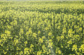 Rapeseed field yellow flowers on Stock Photography