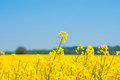 Rapeseed field with yellow plants Royalty Free Stock Photo