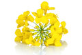 Rapeseed flower on white background brassica napus blossom Stock Images