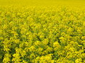 Rapeseed flowering a bright yellow field of Royalty Free Stock Image