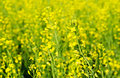 Rapeseed flowers Royalty Free Stock Photo