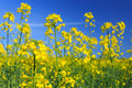 Rapeseed flowers blooming on field Royalty Free Stock Photography