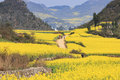 Rapeseed flowers of luoping in yunnan china Royalty Free Stock Image