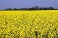 Rapeseed in germany 01 Royalty Free Stock Photography