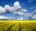 Rapeseed oil field Royalty Free Stock Photo