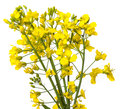 Rapeseed plant flowers close up isolated on white background Stock Photography