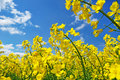 Rapeseed rape Royalty Free Stock Photos