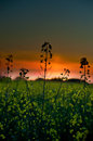 Rapeseed at sunset Stock Photos