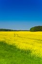 Rapeseed yellow field flower on spring day with clear blue sky Royalty Free Stock Images