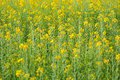 Rapeseed yellow flowers in the fields Stock Photo