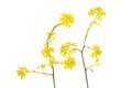 Rapeseed yellow flowers isolated against white Stock Photo