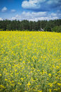Raps field near forest the yellow house in the Royalty Free Stock Photos