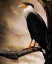 Raptor Bird