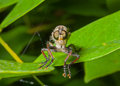 Raptorial fly asilidae a close up of the on leaf Royalty Free Stock Image