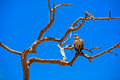 Raptors eagle on tree in africas wilderness Stock Photo