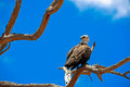 Raptors eagle on tree in africas wilderness Royalty Free Stock Photography