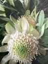 Rare Australian Native White Waratah Flower 1 Royalty Free Stock Photo