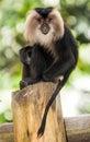 Rare Beard Monkey Royalty Free Stock Photo