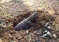 Rare capture Eastern Water Dragon lizard laying eggs in hole in ground Royalty Free Stock Photo