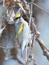 Rare Golden-winged Warbler clings to branch Royalty Free Stock Photo
