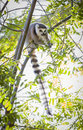 The rare lemur feeding in trees up Royalty Free Stock Image