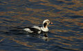 A rare Long-tailed duck, Clangula hyemalis male in breeding plumage, in the sea in Scotland. Royalty Free Stock Photo