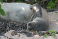 Rare Monk Seal close up Stock Photos