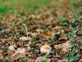 Rare mushroom in the woods in the grass. Amanita Caesarea, Kesar Royalty Free Stock Photo
