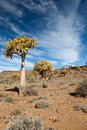 Rare quiver trees in South Africa Royalty Free Stock Photos