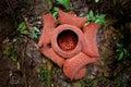Rare Rafflesia plant. Worlds biggest flower Royalty Free Stock Photo