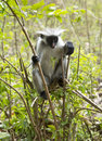 Rare Red Colobus Monkey Stock Photography