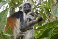 Rare Red Colobus Monkey with little Royalty Free Stock Photo