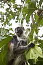 Rare Red Colobus Monkey with little Stock Images